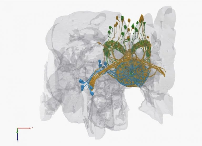 Google Releases the most complete 3D Model of a Fruit Fly's Brain