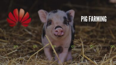 Photo of Huawei Turns To Pig Farming After Loss In Sales